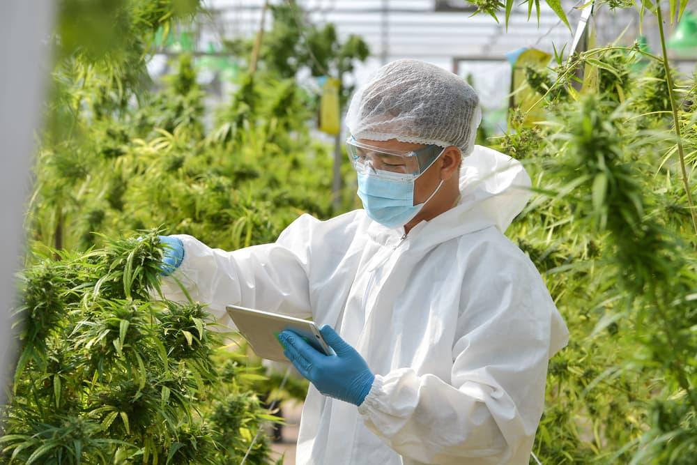 salas blancas cannabis